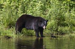 Ο μεγάλος Μαύρος αντέχει το αμερικανικό περπάτημα Ursus στο νερό το καλοκαίρι στον Καναδά στοκ φωτογραφίες με δικαίωμα ελεύθερης χρήσης