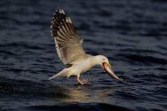 Ο μεγάλος με μαύρη ράχη γλάρος πιάνει τα ψάρια, romsdalfjord στοκ εικόνες
