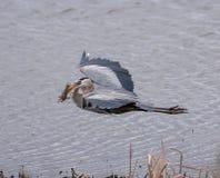 Ο μεγάλος μπλε ερωδιός που πετά με έναν χρυσό κυπρίνο σε το είναι ράμφος στοκ φωτογραφίες με δικαίωμα ελεύθερης χρήσης