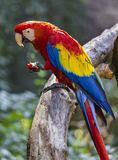 Ο μεγάλος παπαγάλος macaw τρώει ένα μήλο Στοκ Εικόνες