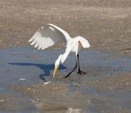 Ο μεγάλος άσπρος ερωδιός πιάνει ένα ψάρι στην ακτή Πλευρά Cayo νησιών Στοκ Εικόνες