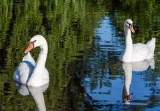 Ο μεγάλος άσπρος κύκνος κολυμπά στην επιφάνεια της λίμνης στοκ εικόνες με δικαίωμα ελεύθερης χρήσης