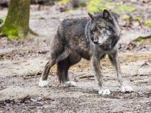Ο μεγάλος γκρίζος λύκος τεντώνει τα πίσω πόδια του Στοκ εικόνα με δικαίωμα ελεύθερης χρήσης