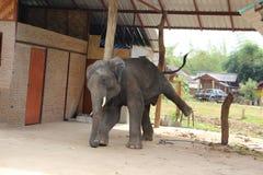 Ο μεγάλος ελέφαντας εκπλήσσει τους ανθρώπους με το playfulness και την καλλιτεχνία του Στοκ Φωτογραφίες