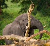Ο μεγάλος ελέφαντας σπάζει ένα δέντρο Αφρική Κένυα Τανζανία serengeti Maasai Mara Στοκ Φωτογραφία