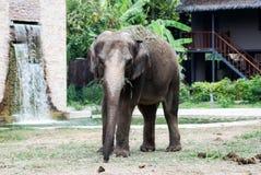 Ο μεγάλος ελέφαντας Στοκ Φωτογραφίες