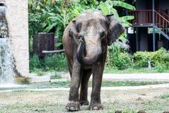 Ο μεγάλος ελέφαντας Στοκ Εικόνες