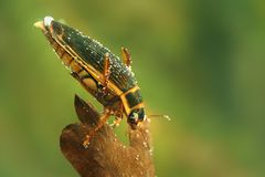 Ο μεγάλος κάνθαρος κατάδυσης - marginalis Dytiscus στοκ φωτογραφίες