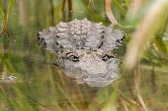 Ο μεγάλος κροκόδειλος περιμένει κατά το ήμισυ καταδυμένος στο νερό το θήραμα για να φθάσει Στοκ εικόνες με δικαίωμα ελεύθερης χρήσης