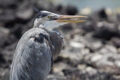 Ο μεγάλος μπλε ερωδιός με το λαιμό του τράβηξε μέσα, Galapagos Στοκ εικόνες με δικαίωμα ελεύθερης χρήσης