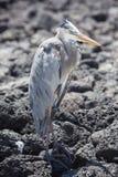 Ο μεγάλος μπλε ερωδιός με το λαιμό του τράβηξε μέσα, Galapagos Στοκ Φωτογραφίες