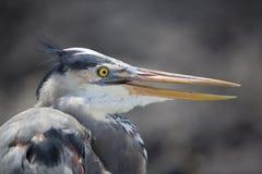 Ο μεγάλος μπλε ερωδιός με το λαιμό του τράβηξε μέσα, Galapagos Στοκ Εικόνα