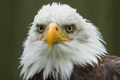 Ο μεγαλοπρεπής αμερικανικός φαλακρός αετός Στοκ εικόνα με δικαίωμα ελεύθερης χρήσης