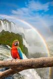 Ο μεγαλοπρεπής παπαγάλος macaw στο Iguazu πέφτει Στοκ εικόνες με δικαίωμα ελεύθερης χρήσης