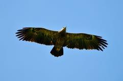 Ο μεγαλύτερος επισημασμένος αετός (clanga Aquila) Στοκ Εικόνες