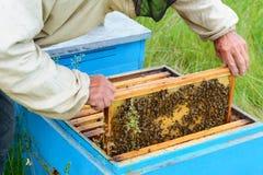 Ο μελισσοκόμος κοιτάζει πέρα από την κηρήθρα με τις προνύμφες μελισσών aphrodisiac Στοκ Φωτογραφία