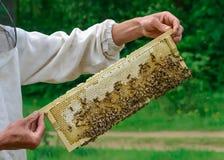 Ο μελισσοκόμος κρατά ένα κύτταρο μελιού με τις μέλισσες στα χέρια του Μελισσοκομία aphrodisiac Στοκ εικόνες με δικαίωμα ελεύθερης χρήσης