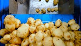 Ο μεταφορέας εγκαταστάσεων τροφίμων κινεί τις πατάτες σε ένα μεγάλο εμπορευματοκιβώτιο για την κοπή απόθεμα βίντεο