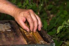 Ο μελισσοκόμος έβαλε το κύτταρο βασίλισσας στην κυψέλη μεταξύ των πλαισίων Στοκ Εικόνα