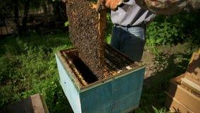 Ο μελισσοκόμος βγάζει ήπια την κηρήθρα από την κυψέλη και εξετάζει την Προσέχει το κύτταρο μελιού για την παρουσία φιλμ μικρού μήκους
