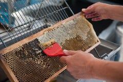 Ο μελισσοκόμος κατά τη διάρκεια της εξαγωγής μελιού από την κηρήθρα Στοκ Εικόνα