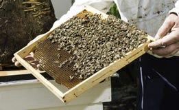 Ο μελισσοκόμος φαίνεται κηρήθρες Στοκ φωτογραφία με δικαίωμα ελεύθερης χρήσης