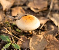 Ο μη φαγώσιμος μύκητας αυξάνεται στα ξύλα υπαίθρια στοκ φωτογραφία