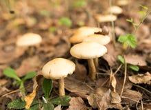 Ο μη φαγώσιμος μύκητας αυξάνεται στα ξύλα υπαίθρια στοκ φωτογραφία με δικαίωμα ελεύθερης χρήσης