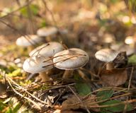 Ο μη φαγώσιμος μύκητας αυξάνεται στα ξύλα υπαίθρια στοκ εικόνες