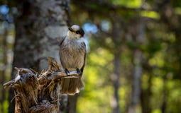Ο μικρός γκρίζος Jay που σκαρφαλώνει σε ένα δέντρο Στοκ Φωτογραφίες