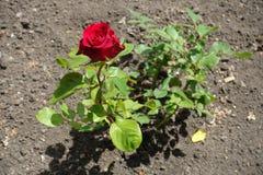 Ο μικρός θάμνος αυξήθηκε με ένα κόκκινο λουλούδι Στοκ φωτογραφία με δικαίωμα ελεύθερης χρήσης