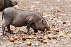Ο μικρός κάπρος τρώει τα μήλα Στοκ φωτογραφία με δικαίωμα ελεύθερης χρήσης