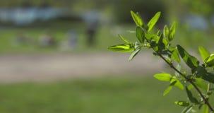Ο μικρός κλάδος με πράσινο που χρωματίζεται βγάζει φύλλα σε ένα πάρκο καλοκαιριού στη Στοκχόλμη Σε αργή κίνηση πυροβολισμός απόθεμα βίντεο