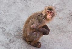 Ο μικρός πίθηκος κάθεται σε μια πέτρα Στοκ Εικόνες