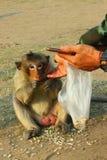 Ο μικρός πίθηκος στο Phra Prang Sam Yot Lopburi της Ταϊλάνδης Στοκ Εικόνα