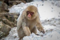 Ο μικρός πίθηκος ψάχνει το χιόνι Στοκ Φωτογραφία