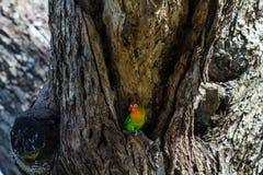 Ο μικρός παπαγάλος φρουρεί τη φωλιά Serengeti, Τανζανία Στοκ Εικόνες