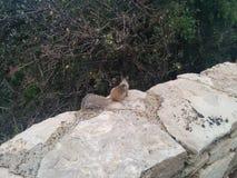 Ο μικρός σκίουρος εξετάζει τους θάμνους από έναν φράκτη πετρών Στοκ εικόνες με δικαίωμα ελεύθερης χρήσης
