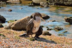 Ο μικρός Azov κορμοράνος, ξεραίνει τα φτερά του, στην παραλία στοκ φωτογραφία με δικαίωμα ελεύθερης χρήσης