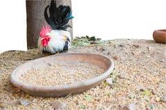 Ο μικρόσωμος με τις ζωοτροφές, κοτόπουλο Στοκ Εικόνες