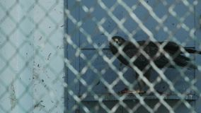 Ο μικρότερος επισημασμένος αετός σχίζει το κρέας σε ένα pomarina aquila κλουβιών απόθεμα βίντεο
