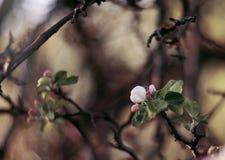 Ο μισός στεγνωμένος κλάδος της Apple με τα λουλούδια Στοκ Εικόνες