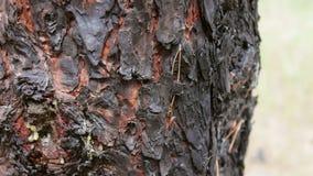 Ο μμένος και απανθρακωμένος κορμός δέντρων κοντά επάνω βλέπει Μια πυρκαγιά στο δάσος έβλαψε ένα δέντρο πεύκων απόθεμα βίντεο