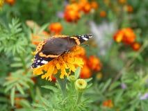Ο μονάρχης πεταλούδων συλλέγει το νέκταρ από marigolds Στοκ εικόνα με δικαίωμα ελεύθερης χρήσης