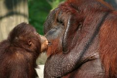 ο μπαμπάς δίνει το φιλί Στοκ εικόνα με δικαίωμα ελεύθερης χρήσης