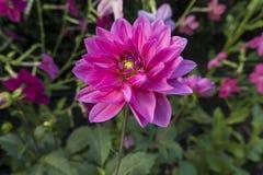 Ο μπλε κήπος purFlower με τις ανθίσεις των νταλιών με τα ζωηρά purplish -purplish-reple φύλλα το dyerianus Strobilanthes κοντά επ στοκ εικόνα