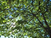 Ο μπλε ουρανός λάμπει μέσω των φύλλων και διακλαδίζεται στο δάσος στοκ φωτογραφία με δικαίωμα ελεύθερης χρήσης