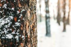 ο μπλε παγετός σκοτεινής μέρας κλάδων βρίσκεται χειμώνας δέντρων χιονιού ουρανού Ο φλοιός του δέντρου ανάμεσα σε ένα δάσος των δέ Στοκ εικόνα με δικαίωμα ελεύθερης χρήσης