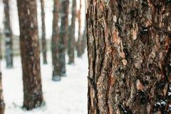 ο μπλε παγετός σκοτεινής μέρας κλάδων βρίσκεται χειμώνας δέντρων χιονιού ουρανού Ο φλοιός του δέντρου ανάμεσα σε ένα δάσος των δέ Στοκ φωτογραφία με δικαίωμα ελεύθερης χρήσης