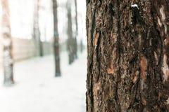 ο μπλε παγετός σκοτεινής μέρας κλάδων βρίσκεται χειμώνας δέντρων χιονιού ουρανού Ο φλοιός του δέντρου ανάμεσα σε ένα δάσος των δέ Στοκ Εικόνες